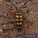 Banded Longhorn - Typocerus velutinus