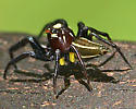 Spider 52 - Thiodina sylvana