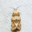 Rings' Cochylid - Cochylis ringsi