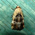 Chalcedony Midget  - Elaphria chalcedonia