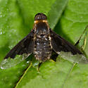 Sinuous Bee Fly? - Hemipenthes morioides