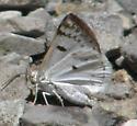 Bluish Spring Moth - Lomographa semiclarata