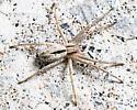ID this crab spider? - Thanatus