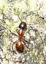 Argentine Ant? - Camponotus