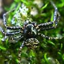 Ground Crab Spider (Bassaniana versicolor?) - Bassaniana - male