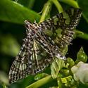 Moth on the Jasmine - Glyphodes onychinalis