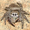jumping spider - Phidippus princeps - female