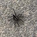 Kailey's spider - Dolomedes