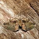 Cruel Toxonprucha - Hodges #8674 - Toxonprucha crudelis