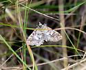 Moth species please if possible - Elophila icciusalis