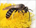 Halictid Bee - Halictus rubicundus - male
