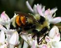 Bombus sp. - Bombus huntii - female