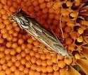Moth - Isophrictis magnella