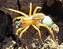 Spider with egg sac - Rabidosa rabida - female
