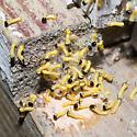 Unthoughtful Spiny Oakworm Moth mother - Anisota stigma