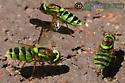 Soldier Fly - Odontomyia cincta - Odontomyia cincta - female