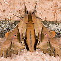 Blinded Sphinx - Paonias excaecata