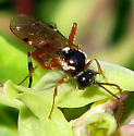 Wasp - Diplazon laetatorius