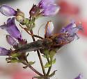 Stenopogon rufibarbis - male