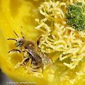 Bee in Prickly Pear - Diadasia