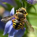Bee or Fly? - Anthidium manicatum