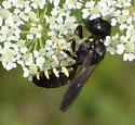 Crabronidae sp ? - Ectemnius maculosus