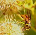 Wasp mimic syrphid fly - Spilomyia texana - female