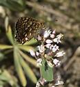 Wallowa Mtn Speyeria - Speyeria hesperis - female