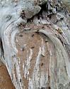 Carpenter Ant Nest Log - Camponotus modoc - female
