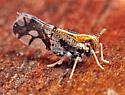Liburniella ornata