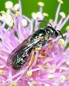 Very small bee - Lasioglossum tarponense - female
