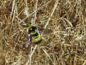 Bumble Bee lands on a dry weed stalk in a open grassland, then flies off and lands again on the same stalk, protecting ??? - Bombus crotchii