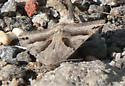 Unknown triangular moth - Caenurgina erechtea