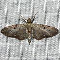 Eupithecia sp. - Eupithecia