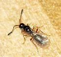 Kumbrabow parasitic wasp
