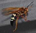 Sphecius speciosus - Eastern Cicada Killer - Sphecius speciosus
