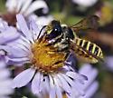 Bee, sp - Megachile fidelis - female