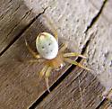 What spider? - Araniella displicata