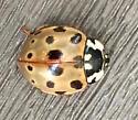 Eye-spotted Lady Beetle? - Anatis labiculata