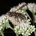 UI Wasp for ID - Polistes fuscatus