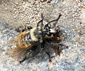 Bumblebee Robber Fly - Laphria fernaldi