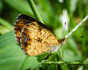 small tan / brown butterfly with dark gray 'wave'  - Phyciodes tharos