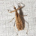 Assassin - Ctenotrachelus shermani