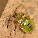 Red-cross Shield Bug nymph - Elasmostethus cruciatus