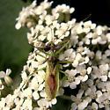 name that bug - Zelus luridus