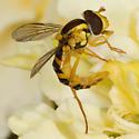 Syrphidae ? - Sphaerophoria - female