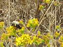 Bumble Bee crawling upside down on a tarweed stem  - Bombus crotchii