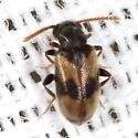 Ant-like Leaf Beetle - Zonantes nubifer
