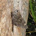 Poling's Giant Skipper (Agathymus polingi) - Agathymus polingi