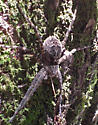 Fish Spider? Holding a stick? - Dolomedes
